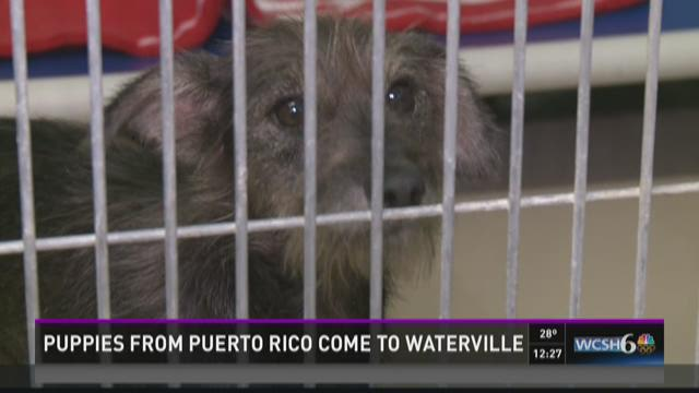 Puppies from Puerto Rico come to Waterville