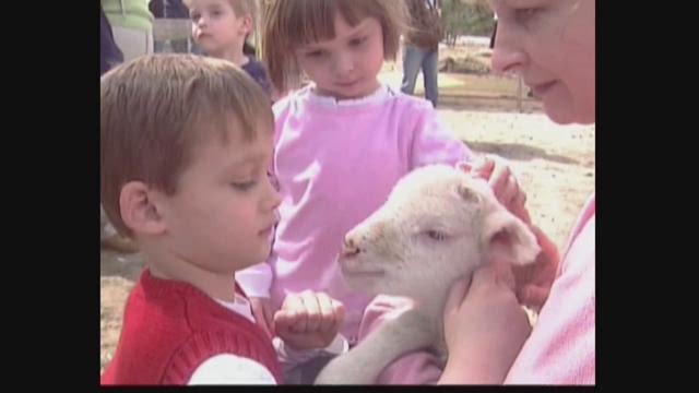 Sheep shearing is an annual spring chore