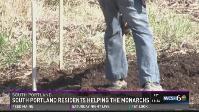 Area residents plant milkweed to help Monarch Butterflies