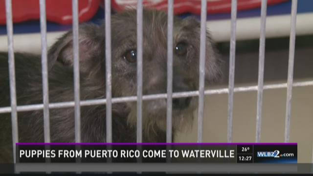Puppies travel from Puerto Rico to find a home